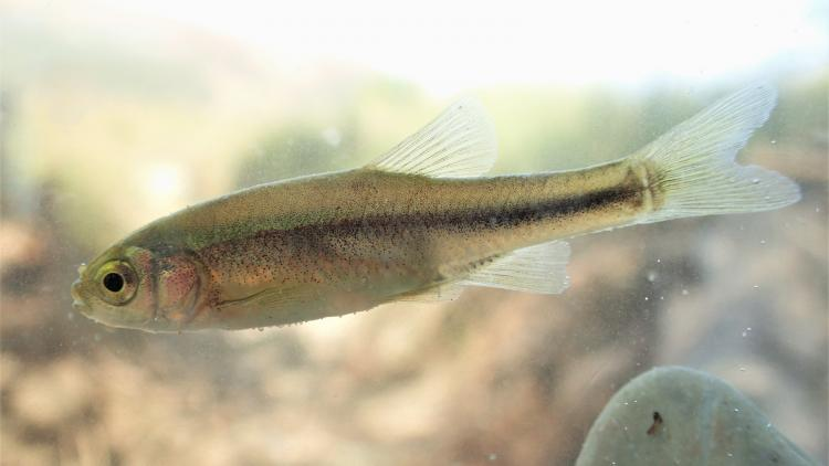 New discovery: this fish species previously entirely unknown to science was discovered in the area of the projected hydropower plant Poçem. It is yet to be named © Wolfram Graf