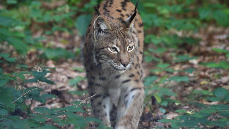 The Mavrovo National Park is the last known area, in which the critically endangered Balkan Lynx is reproducing © Jörg Pukownik