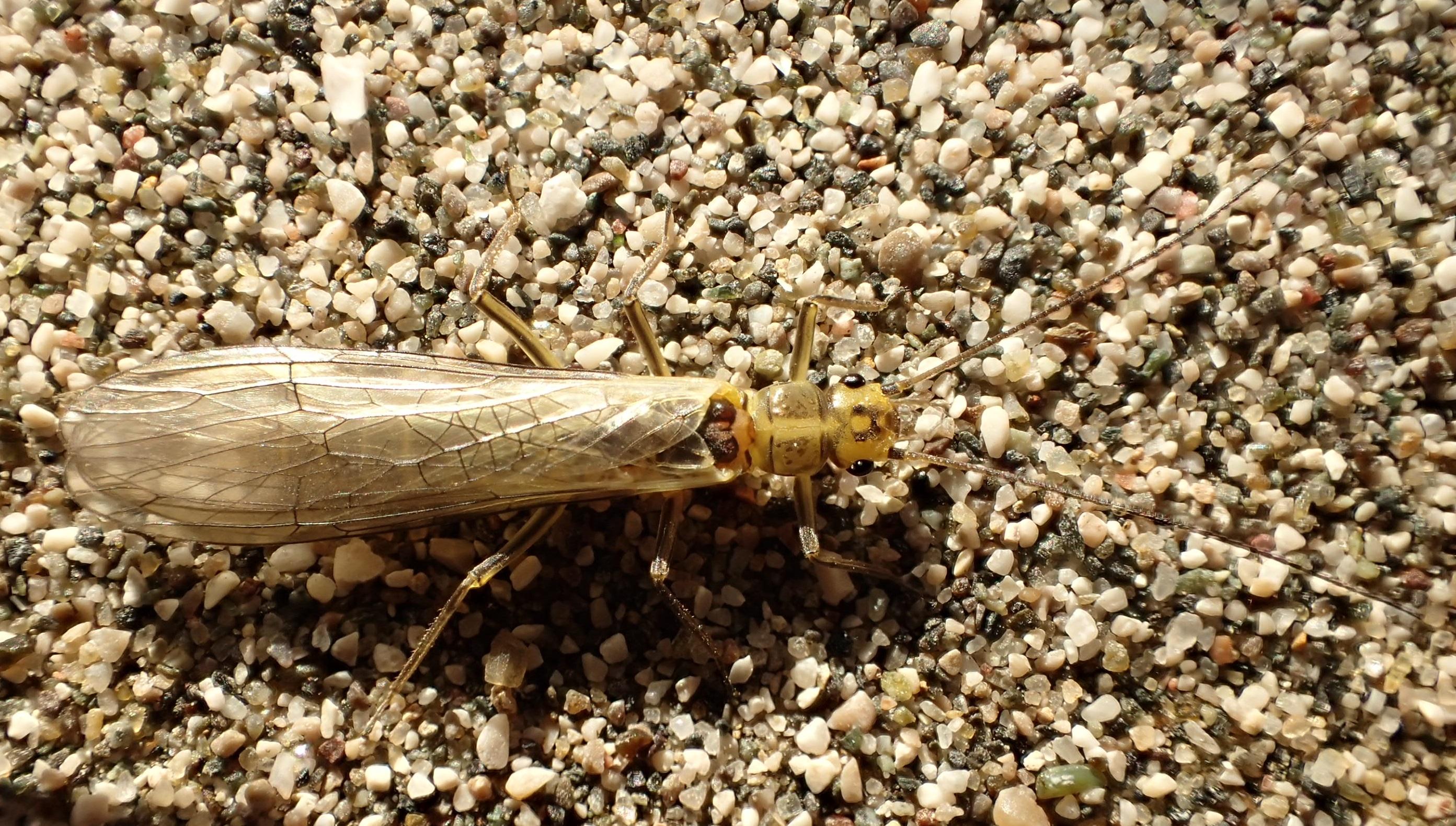 Diese neuentdeckte Steinfliegenart trägt den Namen ihres atemberaubenden aber bedrohten Hosts: Isoperla vjosae © Wolfram Graf