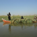 Reed is the Marsh Arabs' livelihood. They not only cut it for their own cattle, but also to sell it to cattle owners outside the swamps. Photo: Ulrich Eichelmann