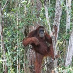 Orang-utans live on Borneo and Sumatra only. Today, only a single per cent of the original population is left. A population of 50,000 is believed to be still alive.