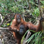 In contrast to chimpanzees or gorillas, orang-utans are loners. Only mother and child stick together for as long as 7 years. No other animal species exhibits such an enduring mother-child relationship.