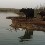 Water buffalos spend the nights either with their owners or on small islands by themselves.