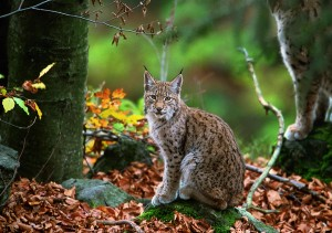 The hydropower projects in Mavrovo National Park are putting the last Balkan lynxes, a subspecies of the Eurasian lynx (in the picture), at risk. © Joachim Flachs