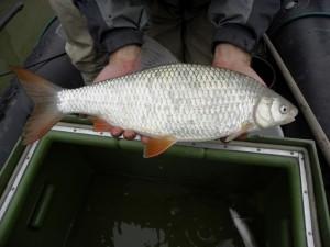 Frauennerfling (Rutilus virgo), eine bedrohte Fischart, die durch den Staudamm Mokrice ihren Hauptlaichplatz verlieren würde. Credit: Kurt Pinter, Boku IHG