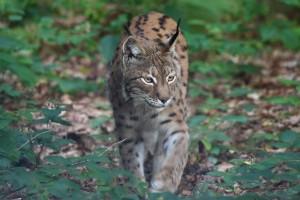 Der Mavrovo Nationalpark ist das einzige bekannte Gebiet, in dem sich der vom Aussterben bedrohte Balkanluchs nachweislich fortpflanzt (c) Jörg Pukownik.